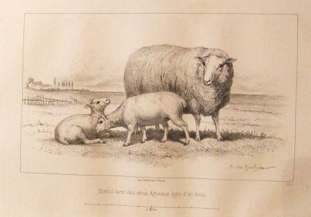 Libro Ilustrado Bonheur - Considérations sur les bêtes à laine au milieu de XIXe siècle, et notice sur la race de la charmoise