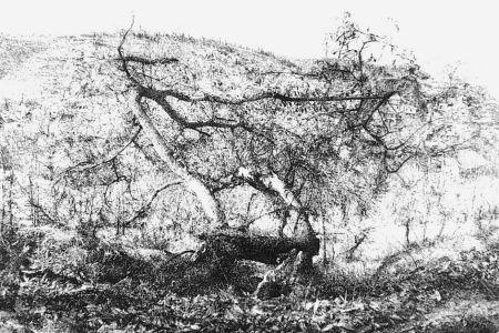 Aguafuerte Barbisan - Il castagno morto