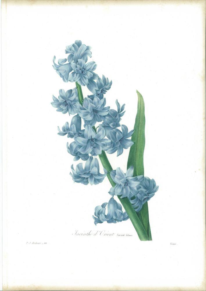 Aguafuerte Redouté - Jacinthe d'orient (variété bleue)