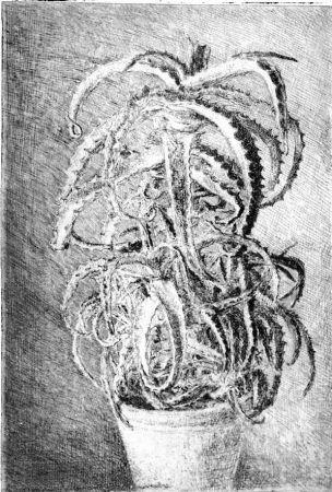 Aguafuerte Barbisan - Pianta grassa